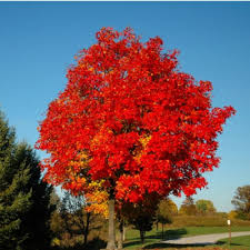 acer sunset canadian maple scotplants direct