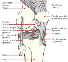 Interactive Knee Anatomy Knee Anatomy Knee Pain Runners Knee Exercises To Help