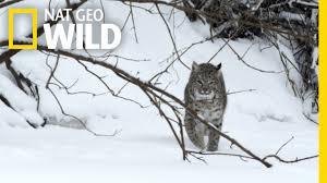 Mississippi wild animals images Bobcat prey wild mississippi jpg