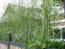Bamboo Backyard Bamboo Backyard Landscaping Image Landscaping Gardening Ideas