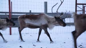 are reindeer real we found some youtube