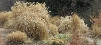 hardy ornamental grasses phelan gardens