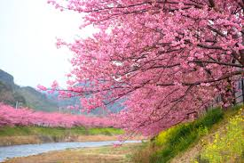 cherry blossom season in kawazu has arrived take a look