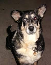 australian shepherd tan german australian shepherd dog breed information and pictures