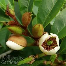 sweet viburnum 200mm pot viburnum banana shrub care michelia figo aka magnolia figo gardening