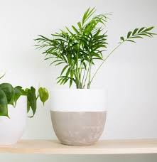buy indoor plants online delivered to auckland plantandpot nz