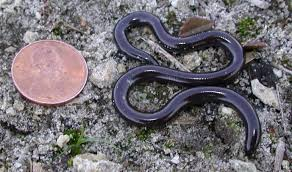 Plains Blind Snake Life Is Short But Snakes Are Long Snakes That Give Virgin Birth