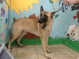 belgian shepherd malinois rescue 14 best belgian malinois dogs for adoption images on pinterest