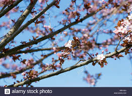 pale pink and white cherry blossom trees on deep blue sky in