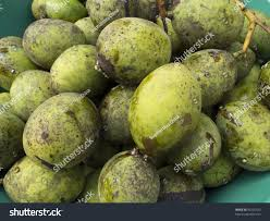 horse mango fruits mangifera foetida lour stock photo 95295523