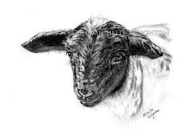 dorper sheep farm animal sketch michelle wrighton photography
