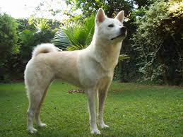 Dog In The Backyard by Akita Dog Breed Information Puppies U0026 Pictures
