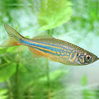 Buy Ornamental Fish 10 Best Freshwater Aquarium Fish For Beginners Home Aquaria