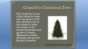 grand fir christmas tree reasons to love the grand fir christmas