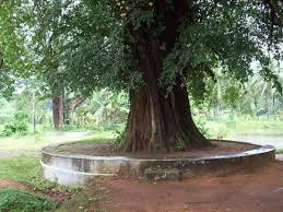 what does a banyan tree represent in hinduism quora