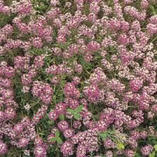 alyssum flowers sweet alyssum