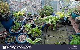roof garden plants pots of hostas and various plants growing on a barbican roof