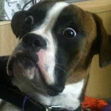 boxer dog fidget spinner lightning hd youtube