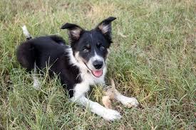 australian shepherd sheltie mix hey i want to start my puppy herding paws4ewe