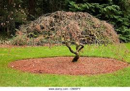 small maple tree stock photos small maple tree stock images alamy