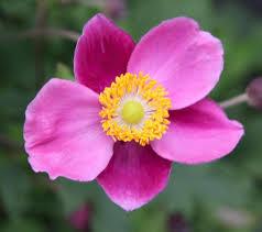 anemone hupehensis u0027praecox u0027 u2013 ballyrobert gardens