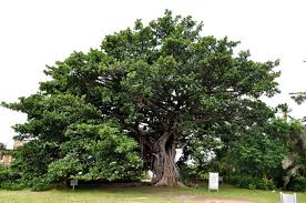free picture big tree protected