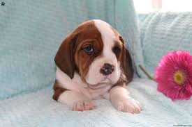 bluetick coonhound basset hound mix english bully basset puppies for sale greenfield puppies