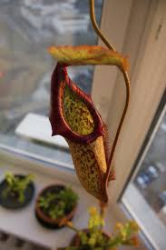 Plants Indoors by Growing Pitcher Plants Indoors U2013 How To Care For A Pitcher Plant