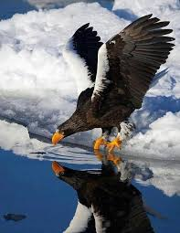 stellers sea eagle wallpapers beautiful the stellar sea eagle is the heaviest eagle species and