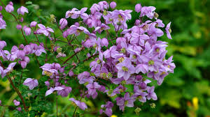 native chinese plants thalictrum delavayi franch plants of the world online kew science