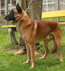 belgian shepherd x rottweiler belgian shepherd dog malinois breed information history health
