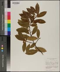 plants native to alabama prunus caroliniana species page apa alabama plant atlas