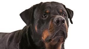 rottweiler dog breed information american kennel club