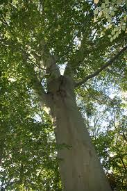 american beech u2013 delaware trees