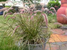 grass plants how to winter grass in containers