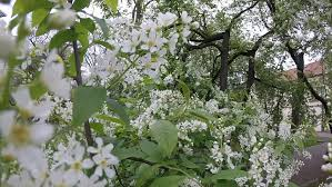 tree with white flowers shrubs and trees with white flowers in the park movement inside