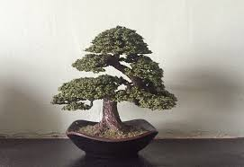 wire tree japanese white pine bonsai wales