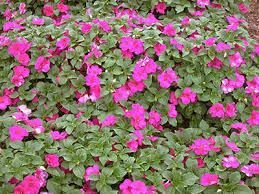 impatiens flowers impatiens of florida institute of food and