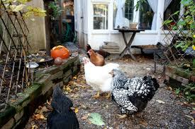 100 backyard chicken successful hen and backyard chicken