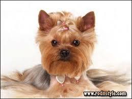 female yorkie haircuts styles hairstyles rod n style