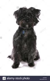 affenpinscher india west highland terrier cutout stock photos u0026 west highland terrier