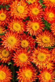 top orange annual flowers for your garden hgtv