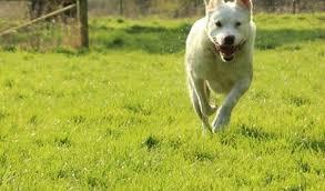 belgian shepherd x alaskan malamute meg u2013 4 year old female alaskan malamute cross american bulldog