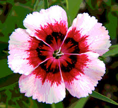 dianthus flower posterized pink and dianthus flower photograph by sedivy
