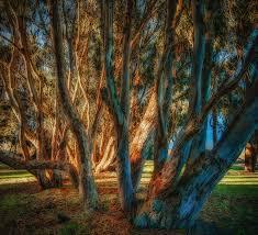 wavy eucalyptus trees at pajaro dunes