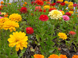 Zinnias Flowers Colorful Zinnia Flowers Picture Free Photograph Photos Public