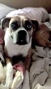 boxer dog for adoption family finds thought to be euthanized dog up for adoption daily
