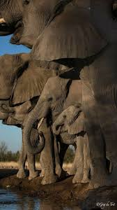 elephant herd in botswana africa title happy hour