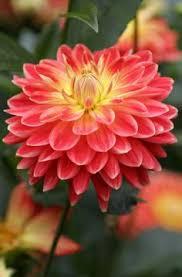 flowers dallas dahlie sugar sommerblü pflanzung im frühjahr