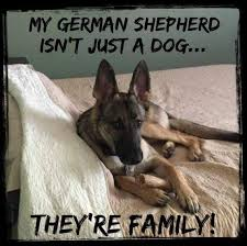 belgian malinois quotes 680 best german shepherds images on pinterest german shepherd